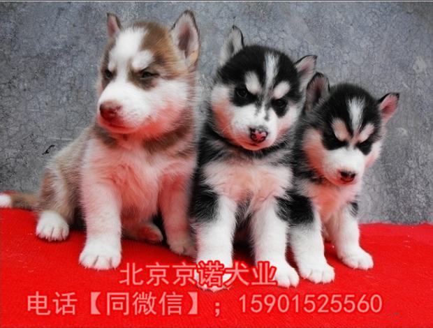 纯种哈士奇 北京哈士奇多少钱一只 北京京诺犬业直销6
