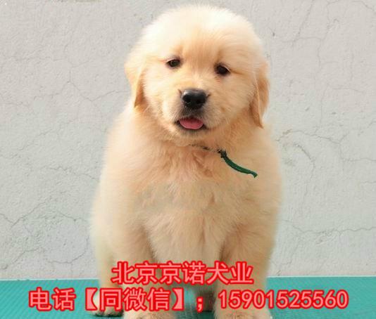 纯种金毛 北京金毛多少钱一只 保健康 北京京诺犬业直销3