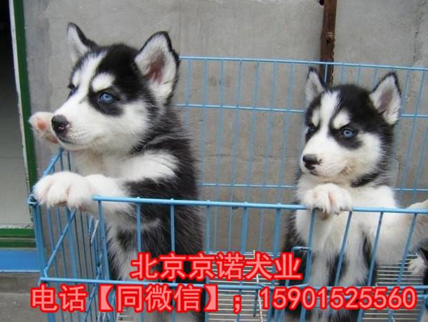 纯种哈士奇 北京哈士奇多少钱一只 北京京诺犬业直销4