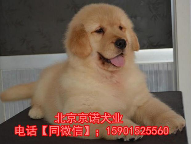 纯种金毛 北京金毛多少钱一只 保健康 北京京诺犬业直销7