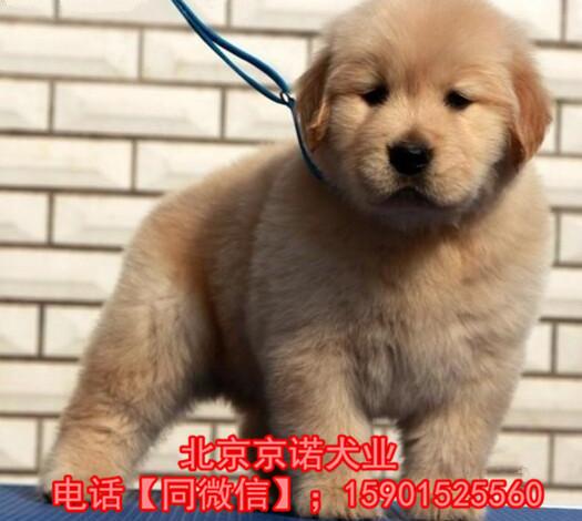 纯种金毛 北京金毛多少钱一只 保健康 北京京诺犬业直销1