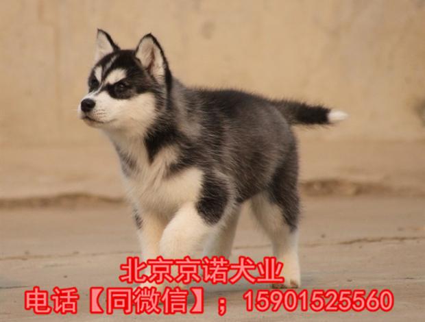 纯种哈士奇 北京哈士奇多少钱一只 北京京诺犬业直销3