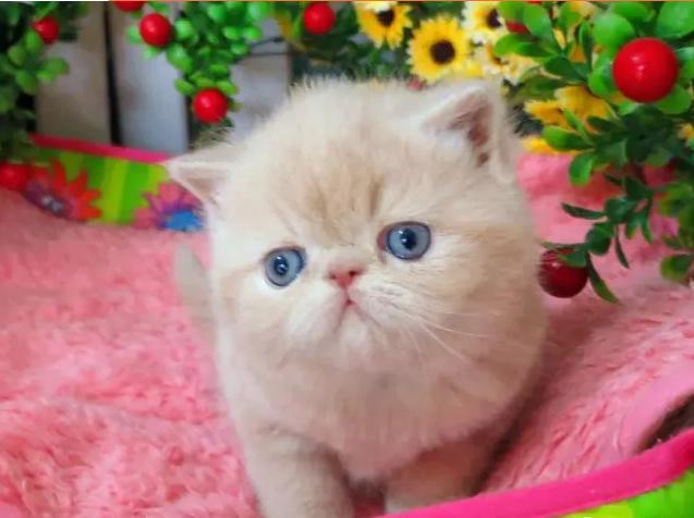 加菲猫 活体宠物猫 眼鼻一线贼溜溜的可爱性格超软