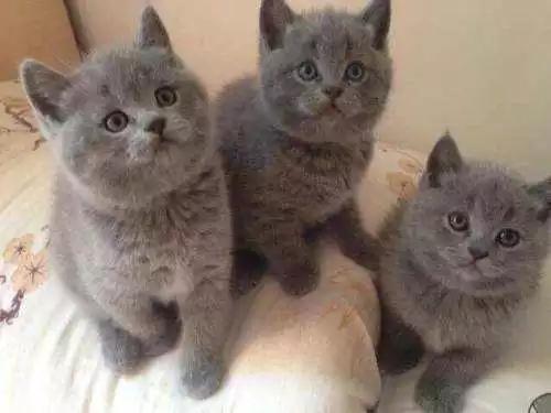 家养蓝猫疫苗齐全包健康包养活