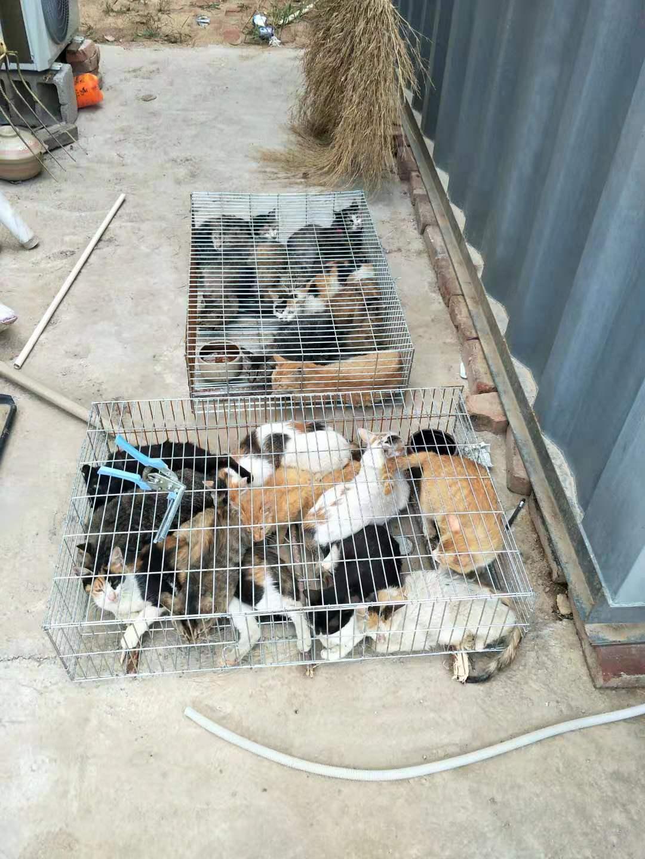 出售中华田园猫正规田园猫养殖场繁育健康养殖疫苗齐全