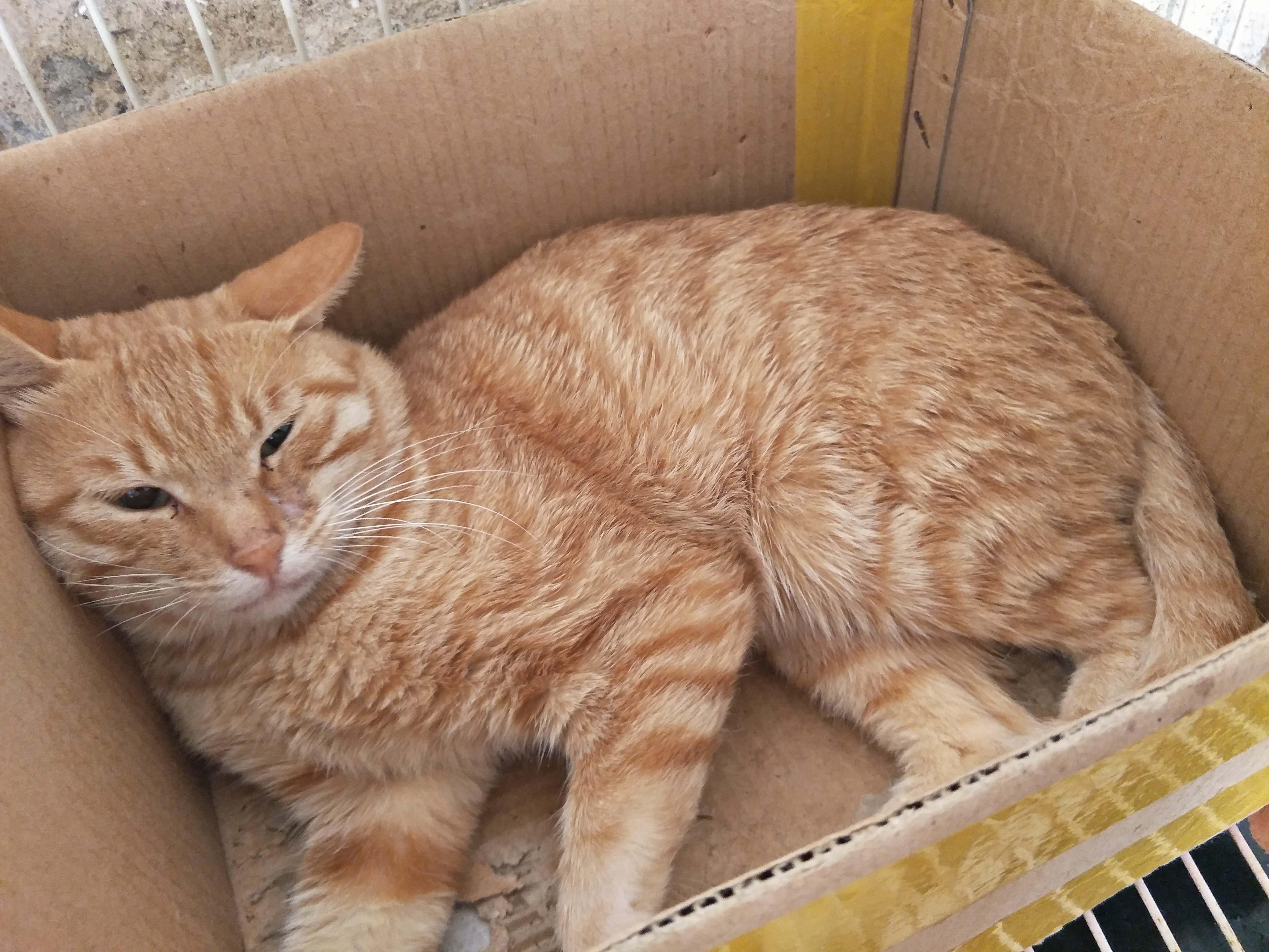 狸花猫养殖场出售土猫中华田园猫正规猫舍繁育基地