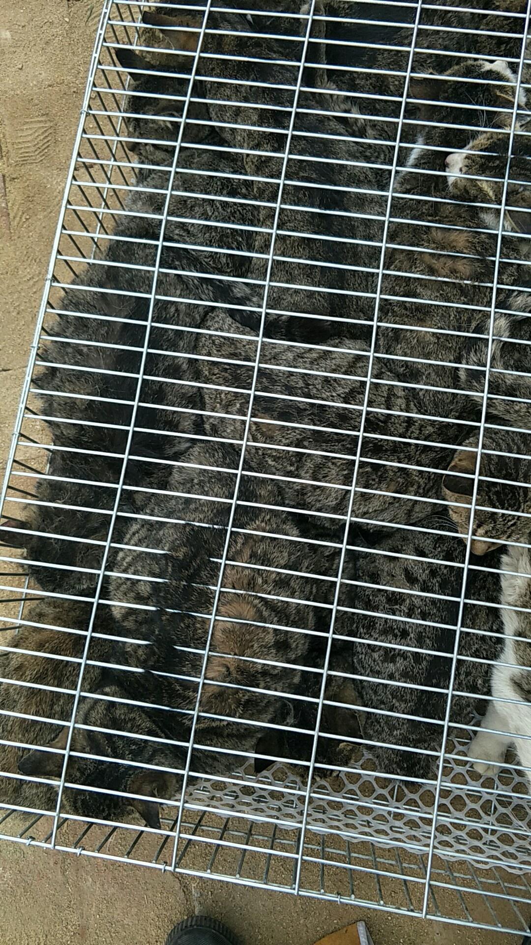 中华田园猫养殖场对外出售本地土猫狸花猫橘猫等品种