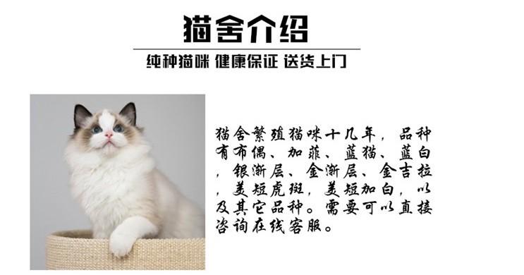 官方推荐猫舍 7天无理由退货 正规CFA猫舍 中华田园猫5