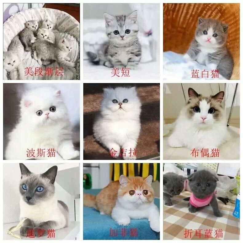 正规CFA猫舍 纯种育苗齐全 出售全品种猫咪活体