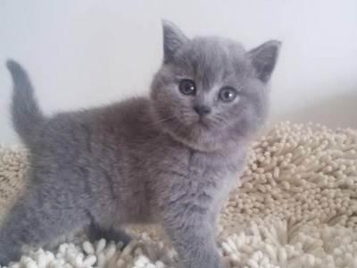 个人出售2个月蓝猫公母