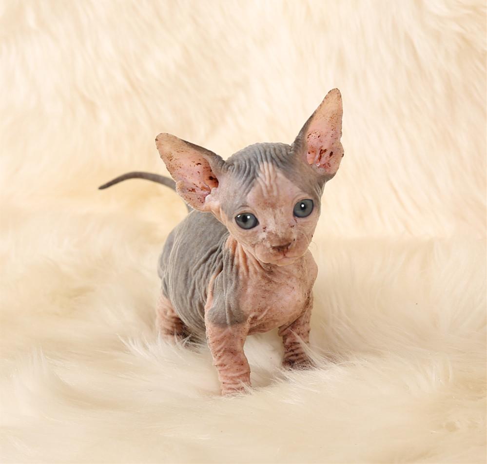 加拿大斯芬克斯无毛猫赛级纯白精灵耳正八开巴比诺矮脚宠物幼猫