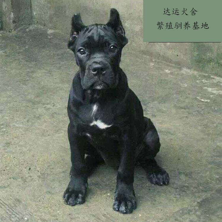 武汉出售卡斯罗幼犬,非诚勿扰4