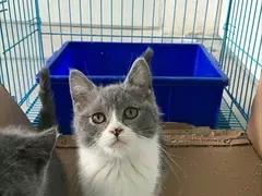 蓝白怎么卖低价出售纯种蓝白猫深圳哪里有卖蓝白猫