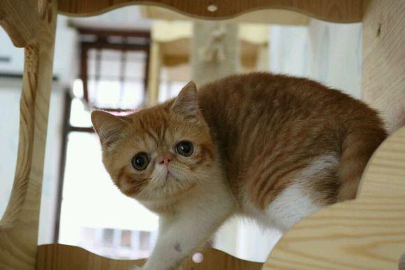好可爱啊!胖乎乎的加菲猫,佛山哪里有卖加菲猫