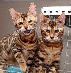 欢迎上门挑选广州哪里有卖豹猫的 花纹清晰