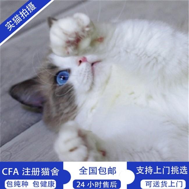 官方推荐猫舍 7天无理由退货 正规CFA猫舍 曼基康猫售8