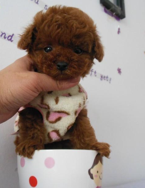 纯种茶杯泰迪犬 贵宾犬丨包健康签协议丨现货视频挑选4
