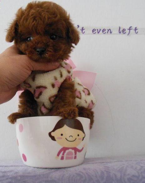 纯种茶杯泰迪犬 贵宾犬丨包健康签协议丨现货视频挑选3