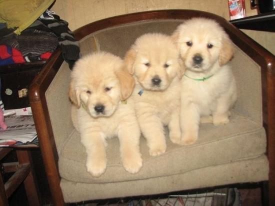 高品质金毛犬幼犬出售 枫叶系巡回金毛犬 买狗可送用品3