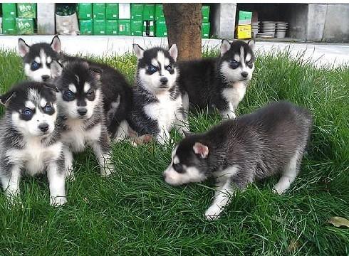 纯种哈士奇雪撬犬幼犬 疫苗已做欢迎上门挑选3
