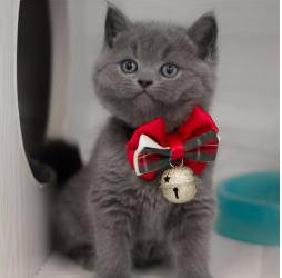 本地出售精品蓝猫。蓝白。银渐层。美短猫咪,上门优惠
