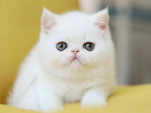 上海加菲猫咪出售纯种幼犬,小型犬猫咪 白色加菲