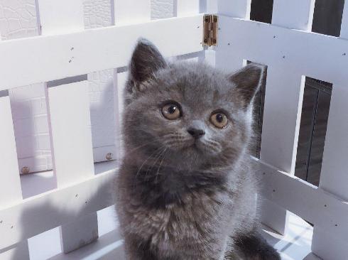 蓝猫出售纯种,英短蓝猫 公母都有犬舍繁殖