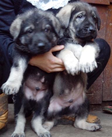 广州买昆明犬请进 狗场专业繁殖出售昆明犬5