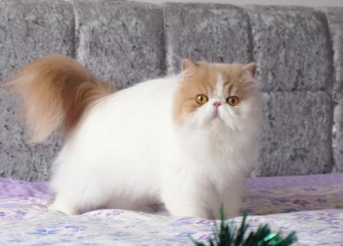 广州哪里有卖布偶猫的 毛色漂亮价格不高