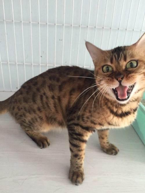 广州哪里有卖孟加拉豹猫的头版大身体高挑颜色黑白分明花纹