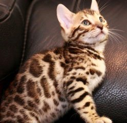 广州什么地方有卖豹猫猫幼猫的 豹猫多少钱