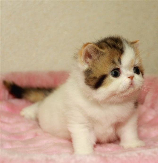 精品纯种加菲猫东莞哪里有卖加菲猫