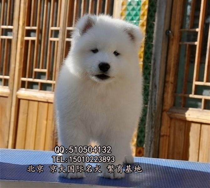 赛级萨摩耶 高品质赛级萨摩耶幼犬 公母均有出售