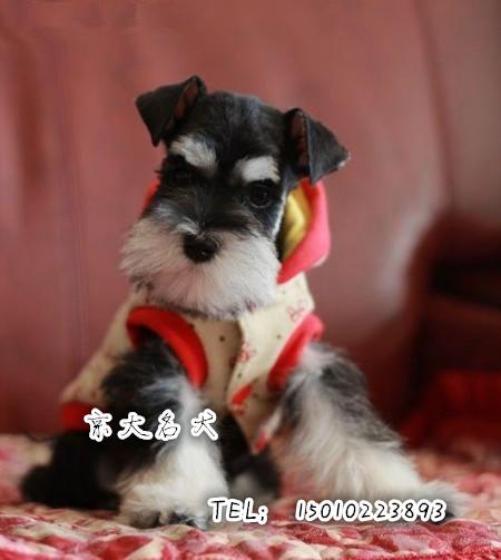 纯种雪纳瑞宠物狗 雪纳瑞幼犬 雪纳瑞狗狗