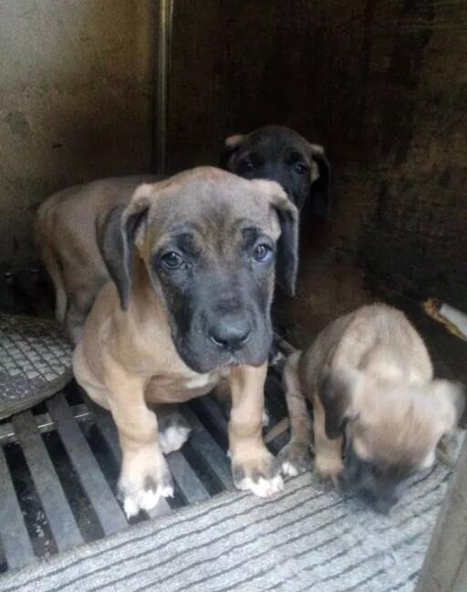 云南西双版纳大丹犬出售卖版纳狗场大丹犬价位1