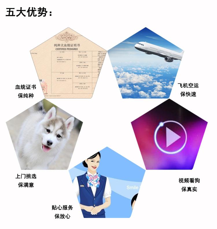顶级犬舍热销纯种微笑天使萨摩耶 公母全可空运8