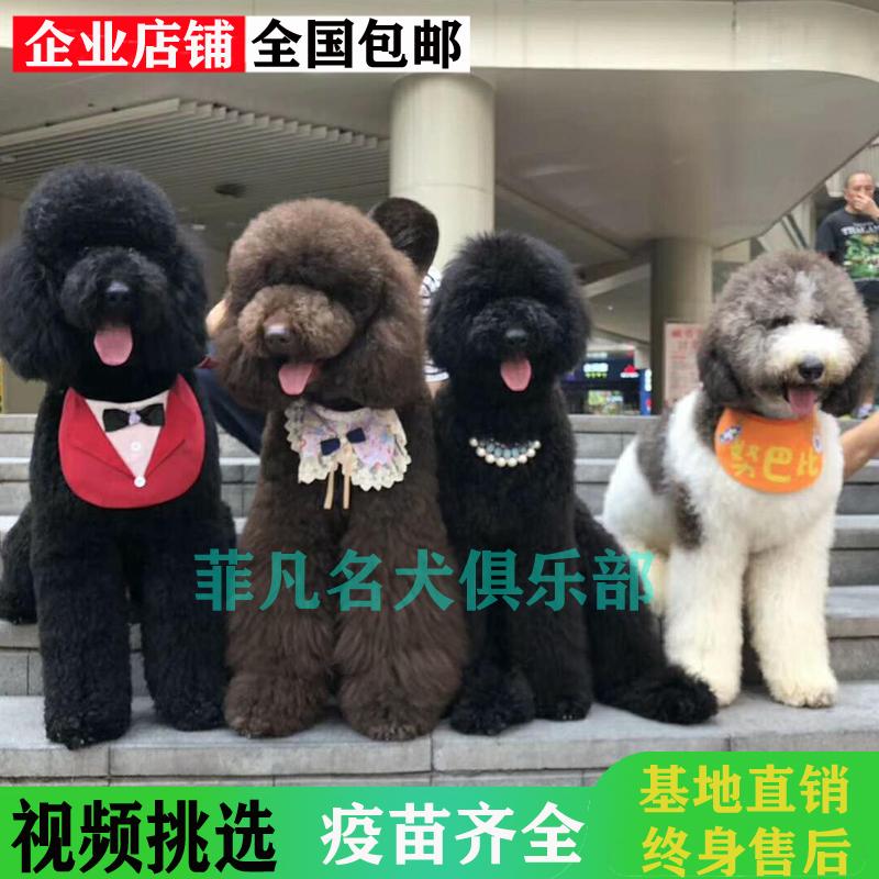 巨型贵宾犬巨贵犬幼犬纯种巨型泰迪白色香槟色红棕色灰色