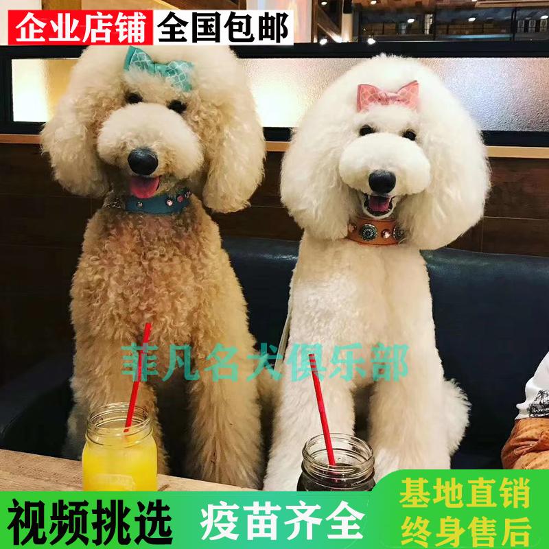 白色巨型贵宾犬价格_巨型贵宾犬巨贵犬幼犬纯种巨型泰迪白色香槟色红棕色灰色_北京 ...