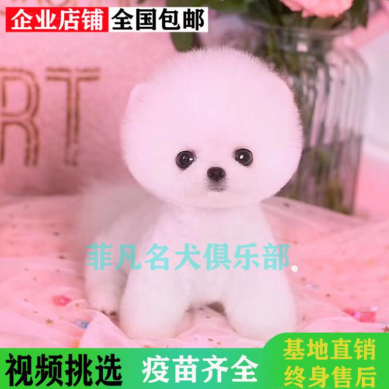 韩系白博美幼犬活体纯种宠物狗狗北京出售茶杯4