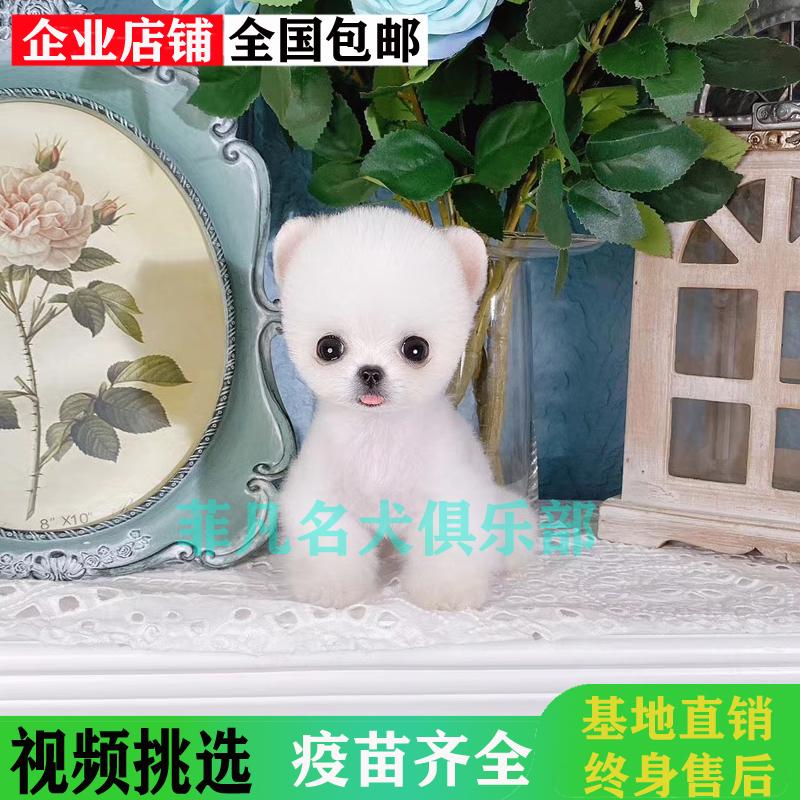 茶杯犬博美幼犬纯种活体宠物犬黄白色俊介狗狗