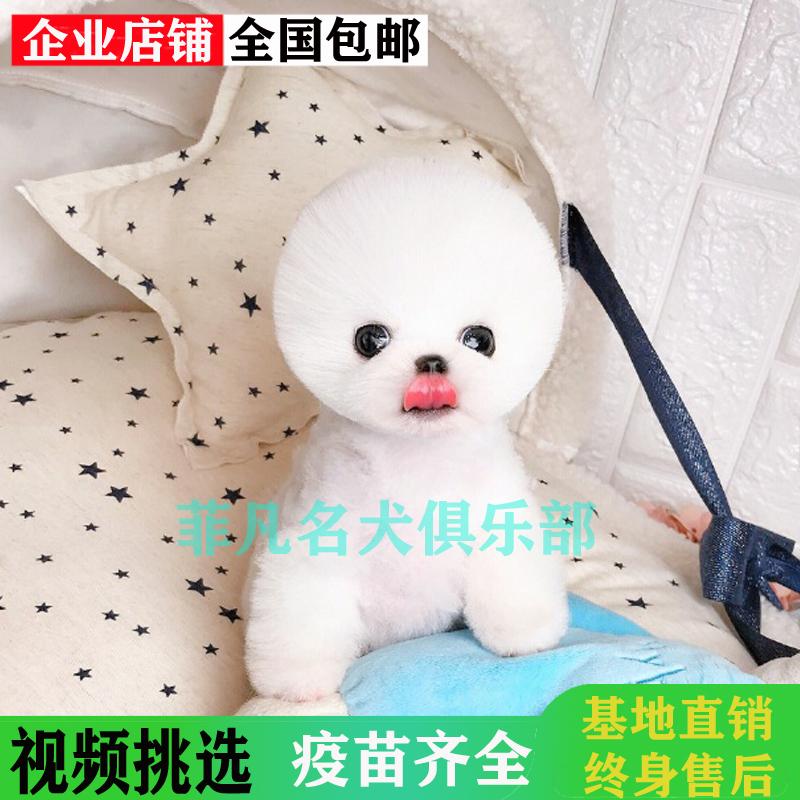韩系白博美幼犬活体纯种宠物狗狗北京出售茶杯3