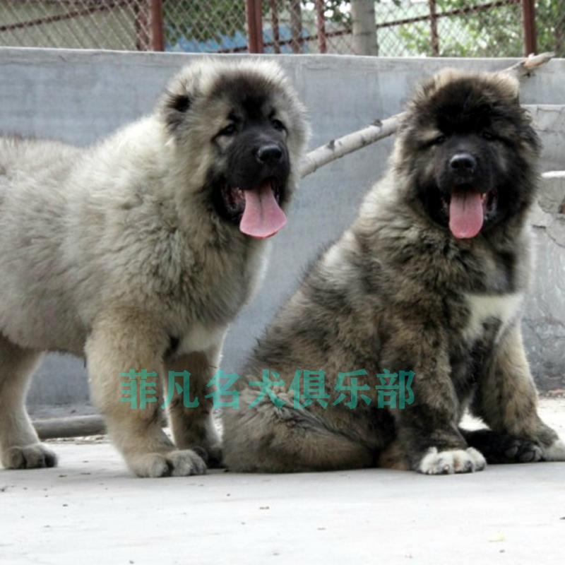 純種高(gao)加索(suo)幼犬(quan) 熊(xiong)版狼青(qing)犬(quan)高(gao)加索(suo)犬(quan) 巨型高(gao)加索(suo)寵物