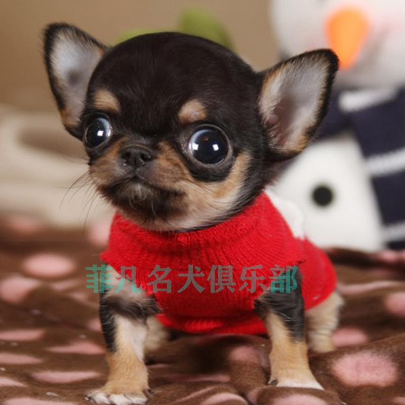 纯种韩系小体吉娃娃幼犬活体比熊犬茶杯泰迪犬博美北京4