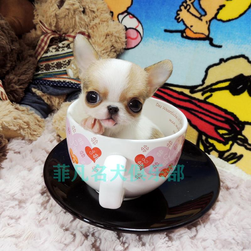 纯种韩系小体吉娃娃幼犬活体比熊犬茶杯泰迪犬博美北京3
