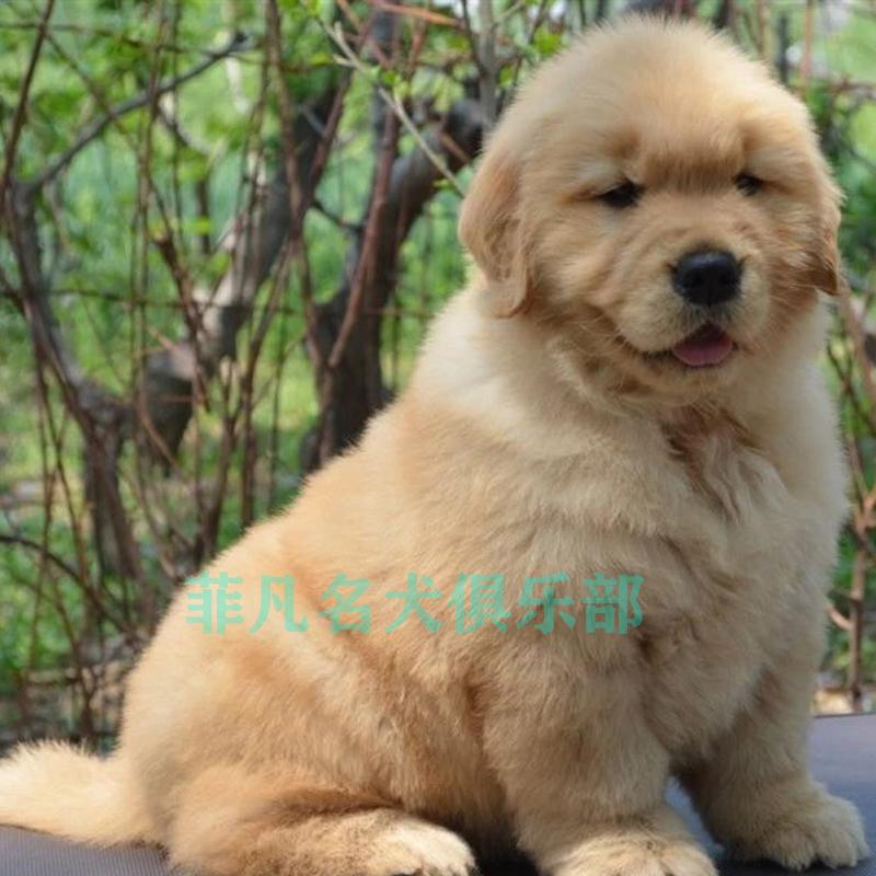 纯种金毛幼犬活体出售金毛犬导盲犬大骨架巡回幼犬