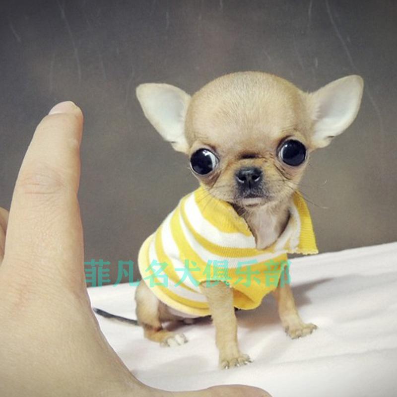 纯种韩系小体吉娃娃幼犬活体比熊犬茶杯泰迪犬博美广州