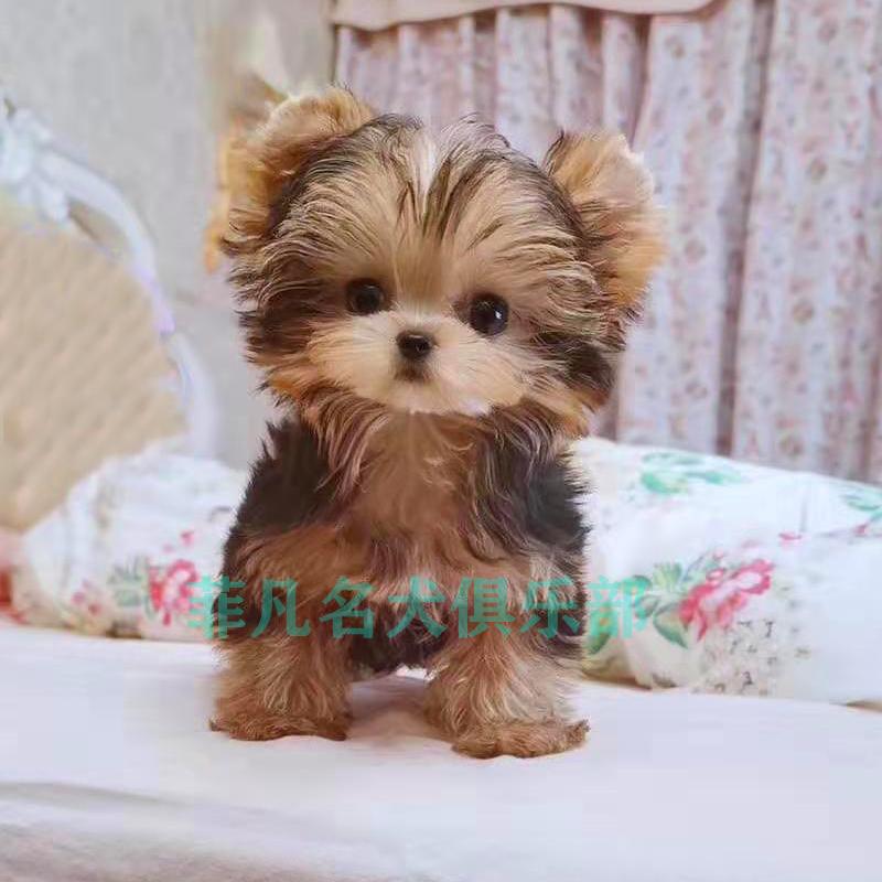 上海犬舍纯种约克夏梗犬幼犬金头银背活体约克夏幼犬