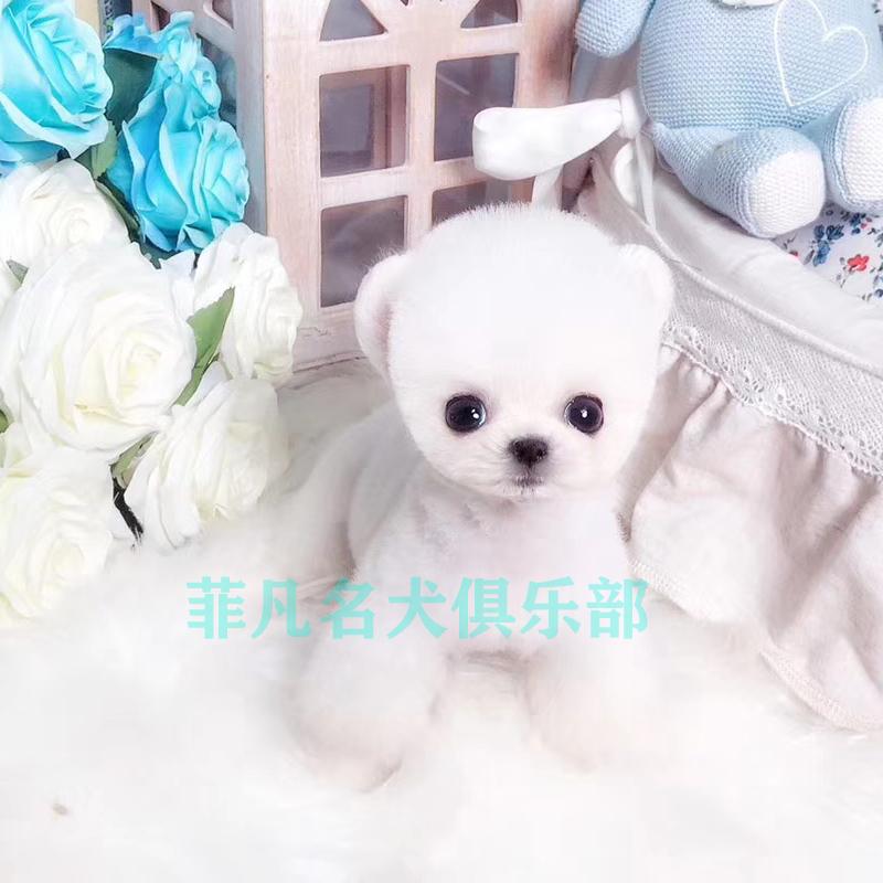 茶杯犬博美幼犬纯种活体宠物犬黄白色俊介狗狗小型