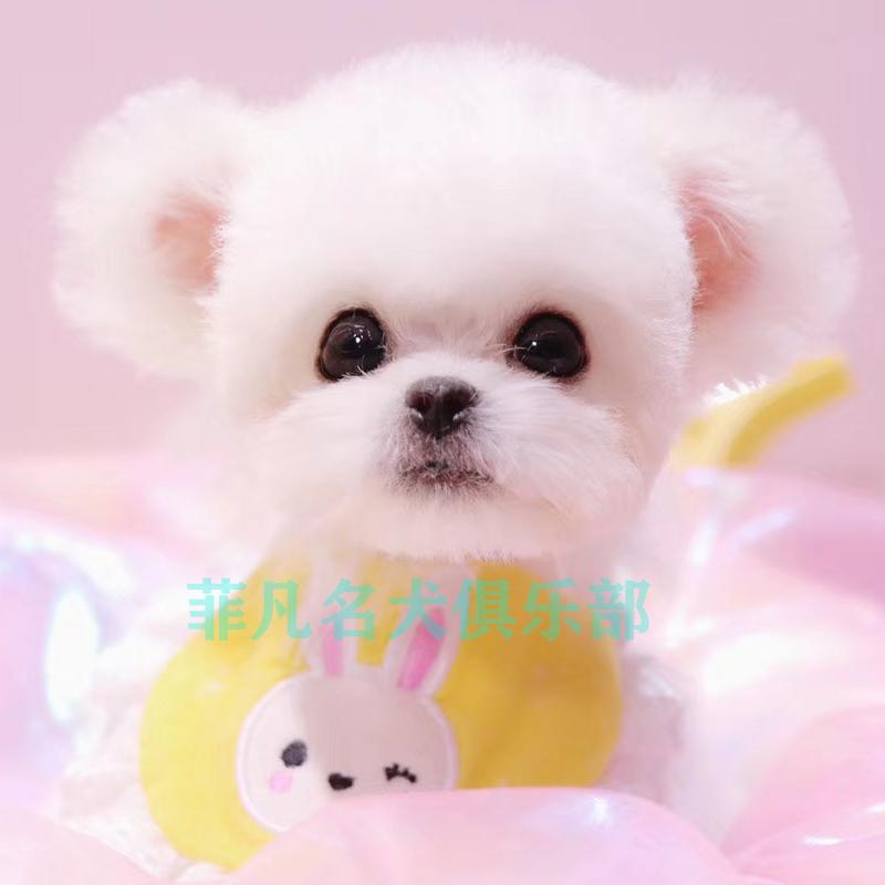 韓(han)系比熊(xiong)幼犬(quan)活體(ti)純種賽級(ji)血統玩具白泰(tai)迪寵物狗狗