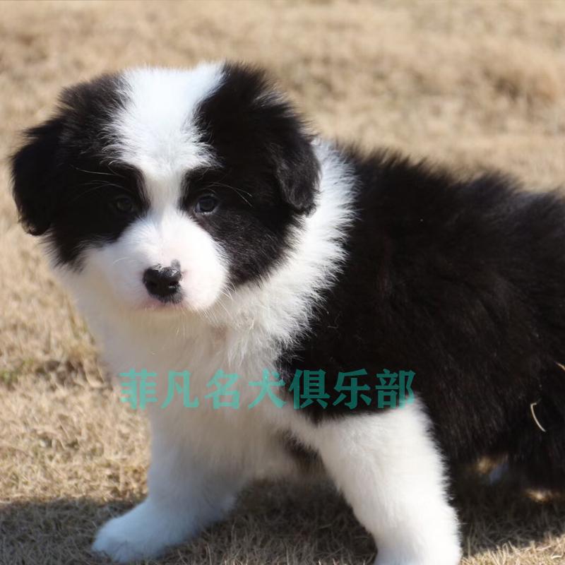 邊境牧羊犬(quan)幼犬(quan)純種zhi)釤ti)寵物狗高(gao)智商中xing)托」飯啡灼 width=